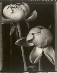 I love the implied motion from the more closed to more open bud. Tom Baril, Peony Buds, 1997 (from Botanica), Gelatin silver print Gelatin Silver Print, All Nature, We Are The World, Still Life Photography, Art Photography, Flower Photography, Botanical Illustration, Botanical Prints, Pretty Flowers