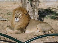 A lion enjoys the afternoon sun at the Tunis Zoo in Parc du Belvédère in Tunis, Tunisia. Carthage, Lion, Animals, Leo, Animais, Lions, Animales, Animaux, Cartago