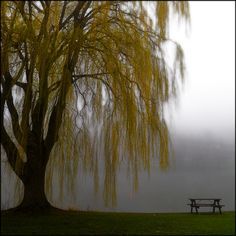 Willow tree with picnic table in fog
