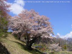 新田の大山桜