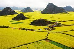 odditiesoflife:  Rapeseed Flower Fields, China The stunning...