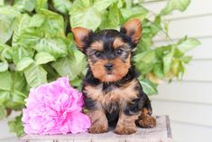 Lancaster Puppies, Yorkshire Terrier Puppies, Meeting New Friends, Yorkie, Fur, Bright, Sweet, Dogs, Animals