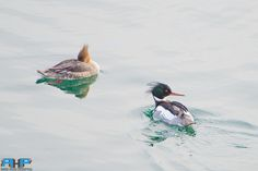 Merganser Pair  - All of my photos/designs look MUCH better when viewed Large on my flickr site at - http://www.flickr.com/photos/sizzler68/ - © Rodney Hickey Photography 2015