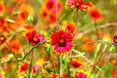 Red and yellow wildflowers!