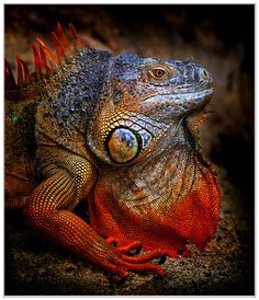 Iguana 'Back from Hell' - photo Klaus Wiese Reptiles And Amphibians, Mammals, Iguana Tattoo, Animals And Pets, Cute Animals, Chameleon Lizard, Reptile House, Green Iguana, Salamander