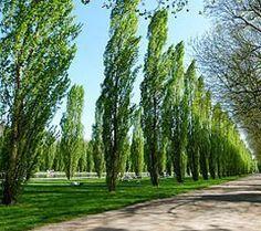 I FINALLY FOUND THE NAME OF MY FAV TREE!!!Fastigiate Black Poplar Trees (Populus nigra - Plantierensis)