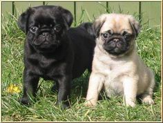 mops puppies