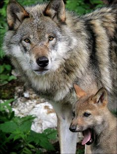 Pretty pretty please???? Can someone let me have a wolf as a pet?????