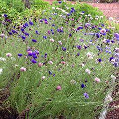 Bachelor buttons Bachelor Buttons, Growing Flowers, Artist At Work, Garden Furniture, Garden Plants, Weed, Bliss, Earth, Cabin