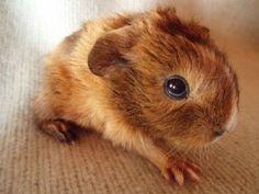 Fijjas Ain't I Lovely - golden/goldenagouti/white baby Guinea pig