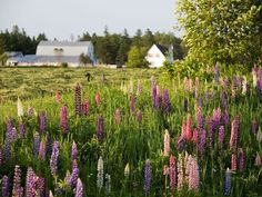 Prince Edward Island.  Only one thing comes to mind - Anne of Green Gables!
