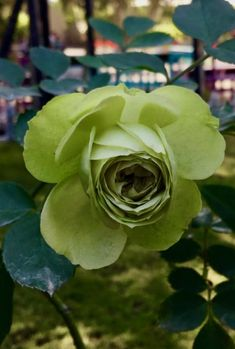 Green rose!
