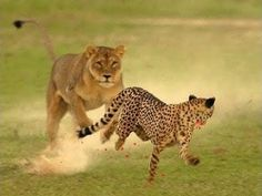 Leopard vs Lion Fight To Death - Lion vs Leopard Real Fight - Leopard At...