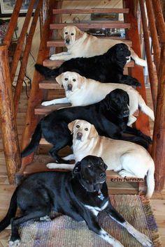 LABRADOR – Who can resist a lab puppy?! ❤