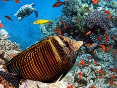 Red Sea Sailfin Tang jigsaw puzzle in Under the Sea puzzles on TheJigsawPuzzles.com