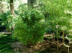 Fargesia murielae 'Simba', Garden Bamboo | Bamboo without spurs (Fargesia bamboo) | Bamboo without streamers | Bamboo Forest - Bamboo and Plants for Home and Garden
