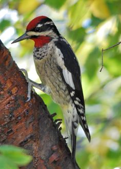 Red-Naped Sapsucker Woodpecker