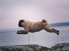 flying pugs jump
