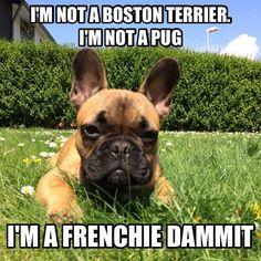 """""""I'm NOT a Boston Terrier, I'm NOT a Pug, I'm a Frenchie Dammit!""""  French Bulldog Battle Cry!"""