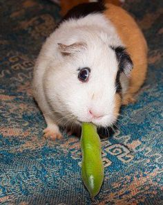 Can I keep my guinea-pig / cavy outdoors?