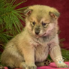 ADOPTED - Hi, my name is Bosco. I'm a fun loving male Pomsky puppy. I am full of life and energy. I can run with the best of them. I will run right up to nap time. I do well with people of all ages. Pomsky Breeders, Pomsky Puppies For Sale, Can Run, Puppy Breeds, Fun Loving, Friends Forever, Husky, Adoption, Dogs