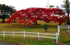 Flamboyán rojo...Está en el pueblo de Aibonito en el Barrio Asomante Sector la Sabana. Este Árbol ha sido retratado para revistas extranjeras. Puerto Rico Island, San Juan Puerto Rico, Greater Antilles, Enchanted Island, Flamboyant, Caribbean Sea, Puerto Ricans, Color Of Life, Beautiful World