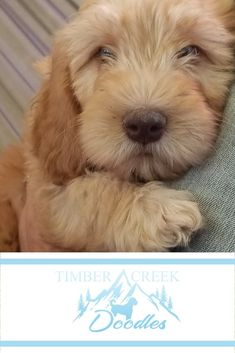 We specialize in Red Mini Goldendoodles and Teacup Goldendoodles - healthy, happy beautiful puppies raised by our family. Cute Puppies, Dogs And Puppies, Adorable Dogs, Doggies, Dog Photos, Dog Pictures, Animals And Pets, Cute Animals, Goldendoodles