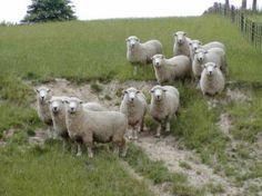 new zealand romney sheep Romney Sheep, Musk Ox, Baa Baa, Sheep And Lamb, Lord Is My Shepherd, Animal Fun, Black Sheep, Cool Pets, Corgis