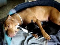 Kitty massages pitbull... TOO CUTE!
