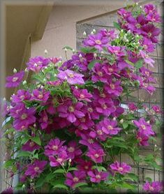 Clematis 'Ernest Markham'--in a different setting.
