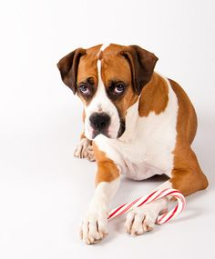 Moku, a five-year-old Boxer/American Bulldog mix, loves to be photographed. More photos equals more cookies!