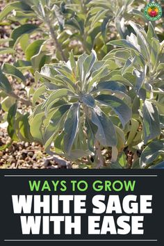 White sage (salvia apiana) is a wonderful plant for cooking, medicinal use, and smudging. Learn exactly how to grow, cultivate, and harvest in this guide. via @epicgardening