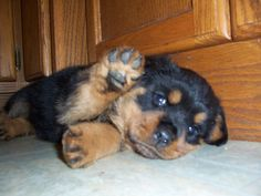 rottweiler puppy that looks like Milo when he was a pup :( I wish they could always stay little