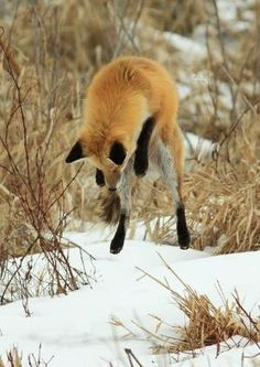 Red Fox by Imdbombshelle