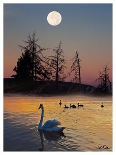 Amazing Snaps: Swans at sunset moon. | See more