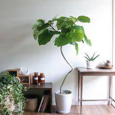 手軽&おしゃれ!フィカス・ウンベラータを育てよう! - NAVER まとめ Potted Trees, Potted Plants, Indoor Plants, Ficus, House Plants, Living Spaces, Sweet Home, Leaves, Deco