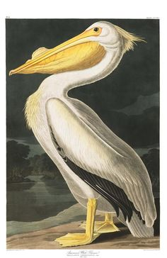 American White Pelican | Audubon