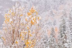 Fresh snow on fall aspens and pines along Bishop Creek, Inyo National Forest, Sierra Nevada Mountains, California USA / Click image to view large or purchase