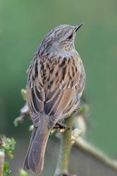 Hedge Sparrow - Mark Hancox Bird Photography