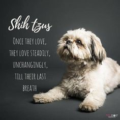 Aw - a truly heart melting description of a shih tzu