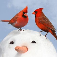 Male and Female Cardinal birds on snowman