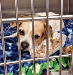 SAFE---*SENIOR ALERT** He is 15 and not doing well in the shelter. He is in the medical building and he needs help. Please SHARE, a FOSTER would save his life. Thanks!  #A4822394 I'm an approximately 15 year old male chihuahua sh. I am not yet neutered. I have been at the Carson Animal Care Center since April 25, 2015. I will be available on April 29, 2015. You can visit me at my temporary home at C403.  http://www.petharbor.com/pet.asp?uaid=LACO1.A4822394  Carson Shelter, Gardena…