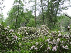 Harvey Butler Rhododendron Sanctuary, Springvale, ME  This gently undulating, 30-acre tract has at least 39 species of wildflowers and a 5.3-acre stand of Great Laurel (Rhododendron maximum), a very rare species in Maine. The site borders a red maple swamp and wet meadow, and is listed on the Maine State Register as a Critical Area. To view the Great Laurel in bloom, plan to visit around the middle of July. Other plant species at the sanctuary include spicebush, clintonia, and painted…