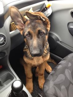 Those floppy ears before they stand.