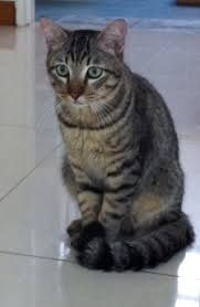 Image result for tabby cat tattoo