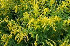 40. 14. Solidago canadensis Linné, Verge d'or du Canada, Bouquets jaunes, Canada goldenrod.