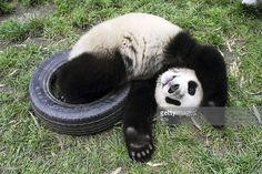 ニュース写真 : A young Giant Panda plays with a tyre at the...