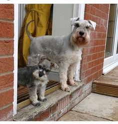 See our website for more info on It is actually an exceptional place to get more information. Schnauzers, Mini Schnauzer Puppies, Miniature Schnauzer, Best Dog Breeds, Best Dogs, Dumb Dogs, Dog Yard, The Perfect Dog, Puppies