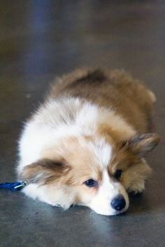 """this fluffy corgi puppy caused grade 5 cuteness toxicity at last year's corgi fair requiring much emergency head-corgi treatment! submitted by md-phd """" It's a good thing, my dear, that you have a transportable head-corgi of your own. WHEW! I hope you..."""