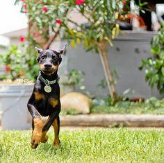 Tigra The Super Doberman #Dobermanpinscher #Doberman #Puppy
